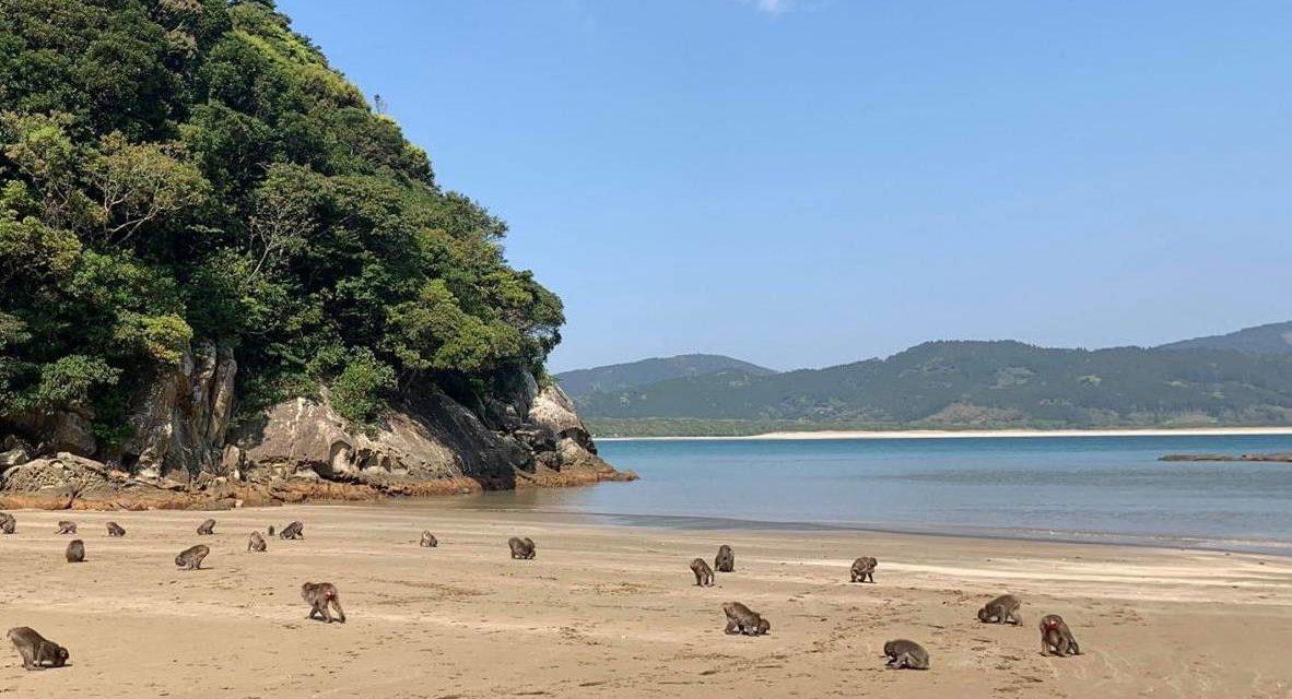 L'île de Kojima et les singes japonais